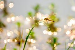 Оранжевый dragonfly Стоковое Изображение
