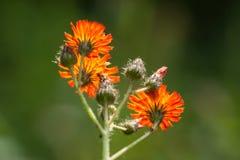 Оранжевый Hawkweed - группа цветка - задняя сторона стоковое фото rf