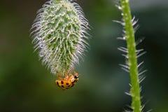 Оранжевый Ladybug на бутоне мака на саде Стоковая Фотография RF