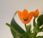 Оранжевый Ornithogalum, звезда Вифлеема Стоковая Фотография
