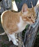 Оранжевый Tabby идя на дерево Стоковое Изображение RF