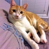 Оранжевый Tabby на подушке Стоковые Фото