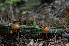 2 оранжевых гриба в лесе Стоковые Изображения