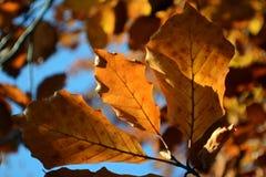3 оранжевых листь осени закрывают вверх Стоковая Фотография RF