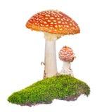 2 оранжевых пластинчатого гриба мухы в зеленом мхе на белизне Стоковое Изображение RF