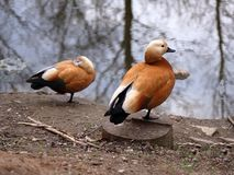 2 оранжевых утки в предыдущей весне стоковые изображения