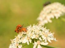 2 оранжевых черепашки на полевом цветке Стоковая Фотография