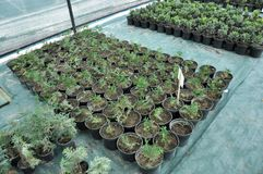Оранжерея для растя саженцев орнаментальных кустов и деревьев стоковое фото