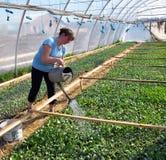 Оранжерея для растущих саженцев овоща Стоковая Фотография