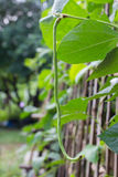 Органическая длинная фасоль Стоковые Изображения RF