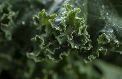 Органическая листовая капуста Стоковые Фото