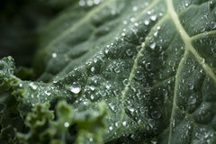 Органическая листовая капуста Стоковое Фото