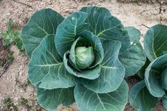 Органическая капуста в поле Итальянская капуста Стоковые Фотографии RF