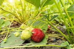 Органическая клубника на плантации стоковые изображения rf