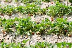 органическая клубника Стоковая Фотография