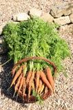 Органическая морковь от сельского permaculture Стоковое Изображение