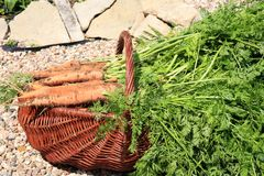 Органическая морковь от сельского permaculture Стоковые Фото