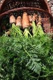 Органическая морковь от сельского permaculture i Стоковое фото RF