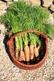 Органическая морковь от сельского permaculture i Стоковые Изображения RF