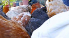органическая птицеферма, отечественное поле животноводства цыпленока, зеленая трава видеоматериал