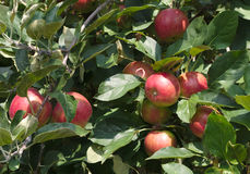 Органическая рудоразборка яблока в дереве paulared здоровый органический плодоовощ Стоковая Фотография RF