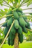 Органическая сырцовая зеленая папапайя обильно на дереве Молодая зеленая папапайя приносить plentifully на treetop Плантация и жу стоковые изображения