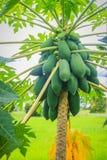 Органическая сырцовая зеленая папапайя обильно на дереве Молодая зеленая папапайя приносить plentifully на treetop Плантация и жу стоковое изображение rf