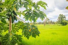 Органическая сырцовая зеленая папапайя обильно на дереве Молодая зеленая папапайя приносить plentifully на treetop Плантация и жу стоковая фотография