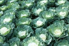 Органическая ферма капусты на земле горы Стоковые Изображения RF