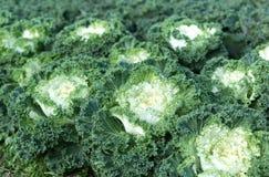 Органическая ферма капусты на земле горы Стоковое фото RF