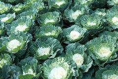 Органическая ферма капусты на земле горы Стоковое Изображение