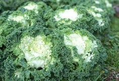 Органическая ферма капусты на земле горы Стоковая Фотография