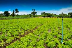 Органическая ферма салата Стоковое Изображение
