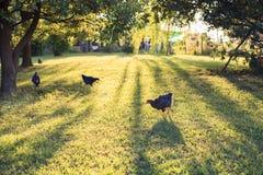 Органическая ферма: цыплята идя на траву свободно стоковая фотография rf