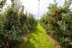 Органическая ферма Яблока Стоковая Фотография RF