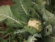 Органическая цветная капуста растя в поле фермы 2 стоковая фотография rf