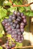 Органическая черная виноградина на ветви Стоковая Фотография RF