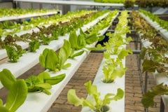 Органическая hydroponic vegetable ферма культивирования, красный дуб, зеленый дуб Стоковое Изображение RF