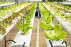 Органическая hydroponic vegetable ферма культивирования, красный дуб, зеленый дуб Стоковые Фотографии RF