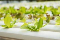 Органическая hydroponic vegetable ферма культивирования, красный дуб, зеленый дуб Стоковые Фото