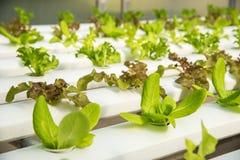 Органическая hydroponic vegetable ферма культивирования, красный дуб, зеленый дуб Стоковое Изображение