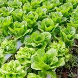 Органическая hydroponic vegetable ферма культивирования Стоковые Изображения