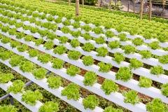 Органическая hydroponic vegetable ферма культивирования Стоковая Фотография