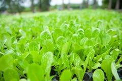 Органическая vegetable ферма культивирования Свежая и сочная сумма Choy сумма стоковые фото