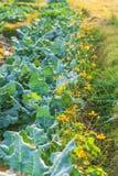 Органическая vegetable ферма культивирования Свежая китайская листовая капуста с Sulf стоковое фото rf
