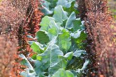 Органическая vegetable ферма культивирования Свежая китайская листовая капуста с Purp стоковая фотография