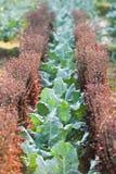 Органическая vegetable ферма культивирования Свежая китайская листовая капуста с Purp стоковое фото
