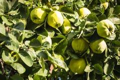 Органические айвы на дереве Стоковая Фотография