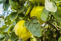 Органические айвы на дереве Стоковые Изображения RF