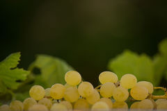 Органические виноградины вина Chenin Blanc в Калифорнии 2 Стоковая Фотография